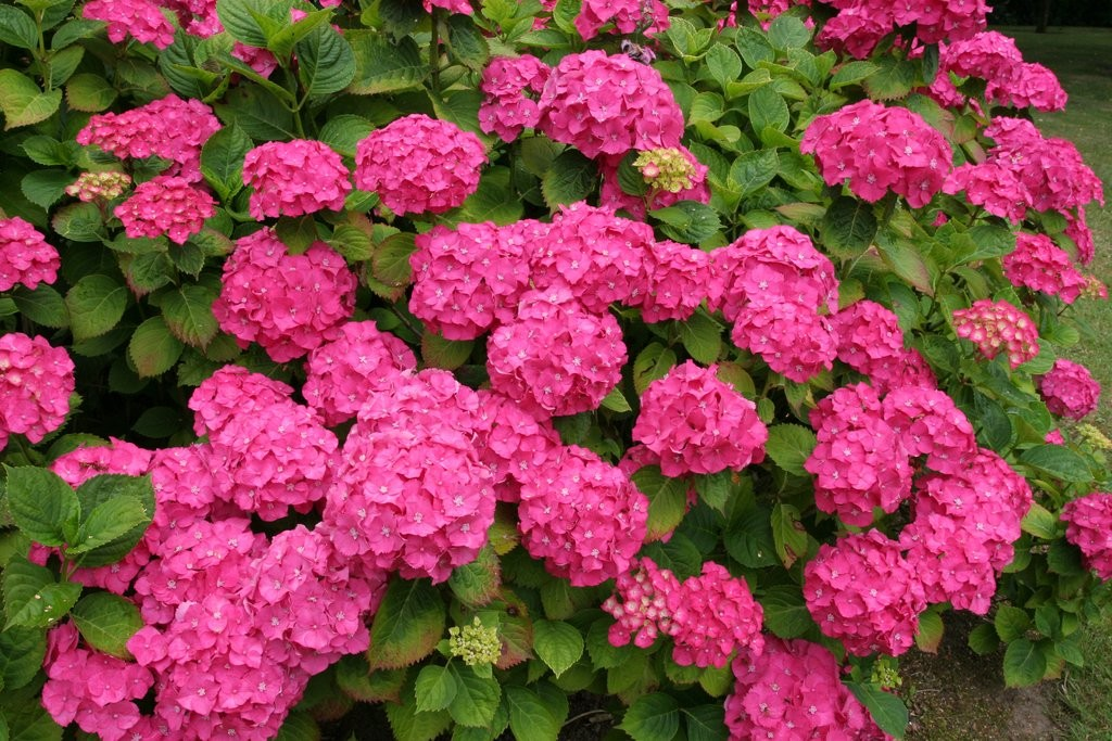 Plantes terre de bruy re p pini res de meilleray - Quand couper les fleurs fanees des hortensias ...