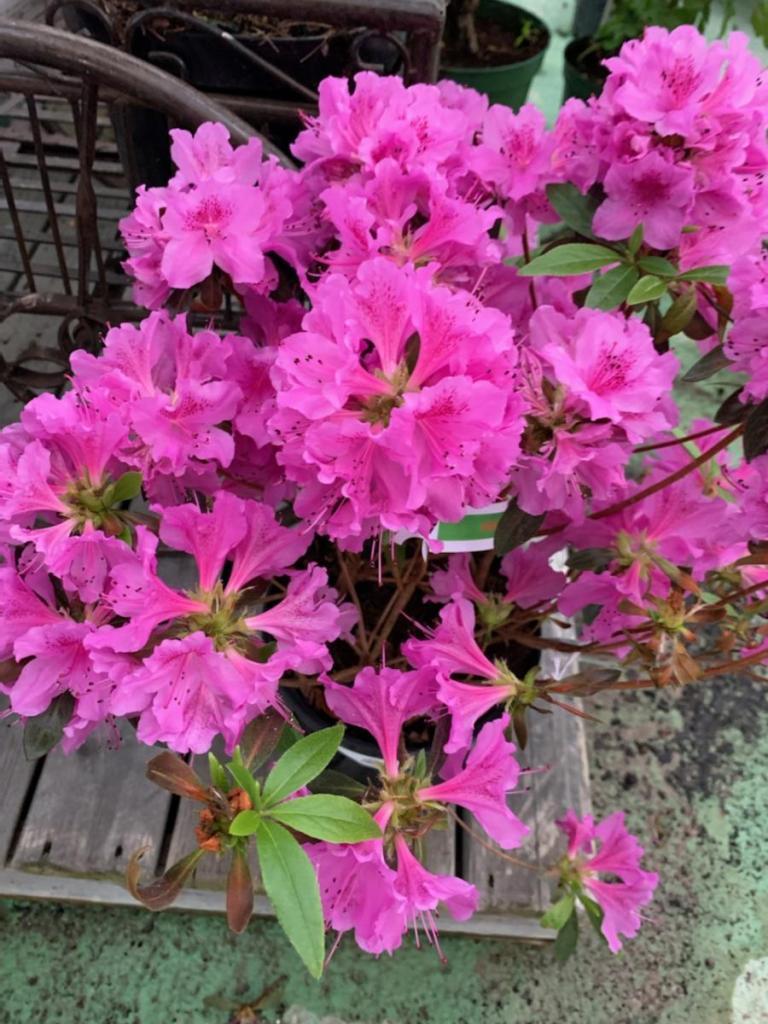 Arbuste Fleuri Feuillage Persistant arbustes - pépinières de meilleray – provins – seine et